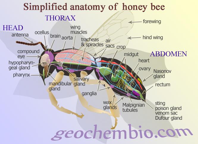 Name:  honeybee.png Views: 561 Size:  474.8 KB